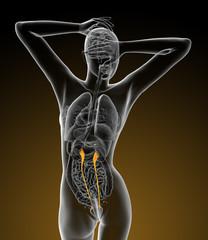 3d render medical illustration of the ureter