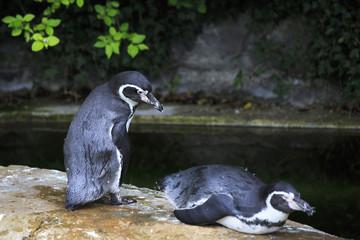 Humboldt penguin.