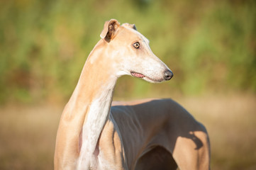 Beautiful portrait of greyhound in autumn