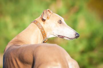 Beautiful portrait of greyhound in autumn