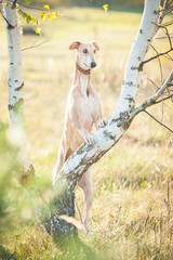Greyhound standing on a tree in autumn
