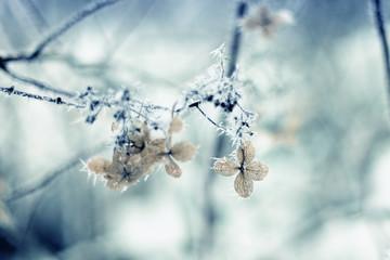 Frozen hydrangea