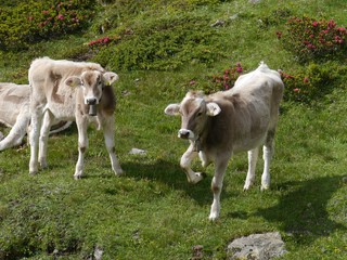Swiss cows in a meadow of the Bernina pass