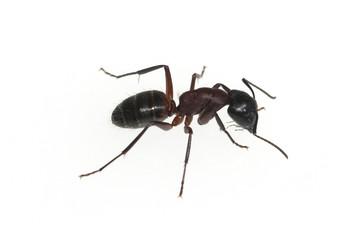 Schwarze Rossameise; Camponotus; herculeanus