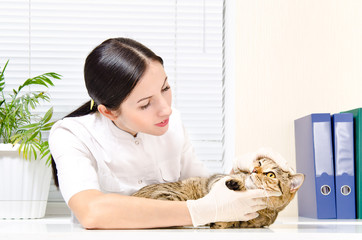 Vet inspects teeth cat breed Scottish Straight