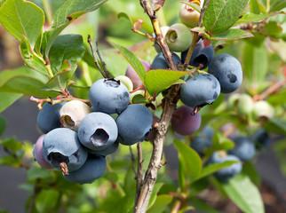 Blueberries on a shrub.