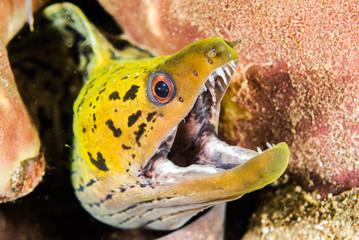 Fimbriated moray eel in Ambon, Maluku, Indonesia underwater