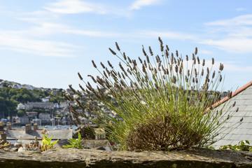 lavender on a stone wall, Fowey, Cornwall