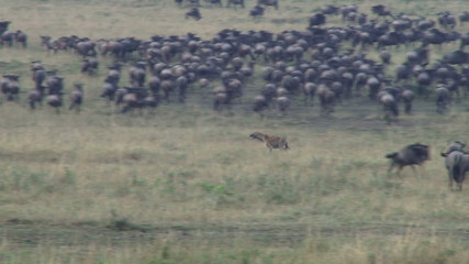 A hyena cuts through masses of migrating wildebeests
