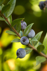 branch of the bush of the Myrtus (myrtle) fruit berry.