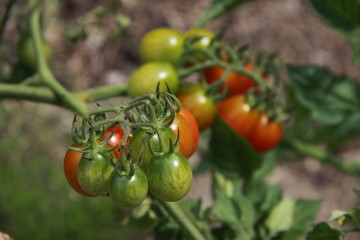 little cherry tomatoes
