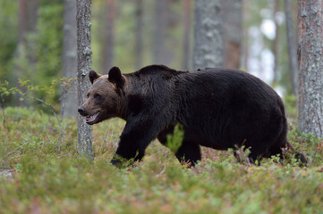 Brown bear walking in the forest