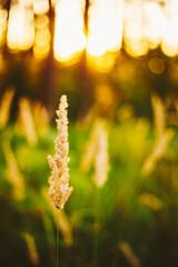 Dry Green Grass Field In Sunset Sunlight. Beautiful Yellow Sunri