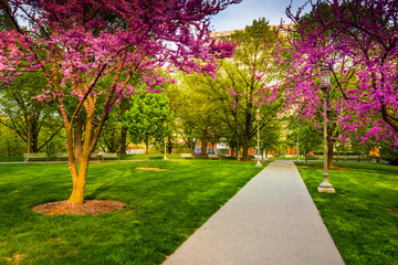 Redbud trees along a path at the Capitol Complex in Harrisburg,