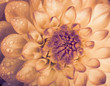 Dahlia with water drops. Color toned.
