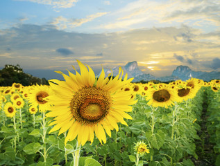 land scape of agriculture of sunflowers field against beautiful