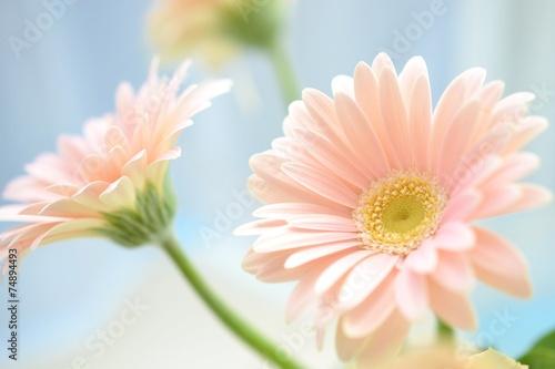 Keuken foto achterwand Gerbera ピンクのガーベラ