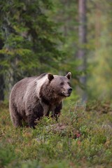 European brown bear with white collar in the forest