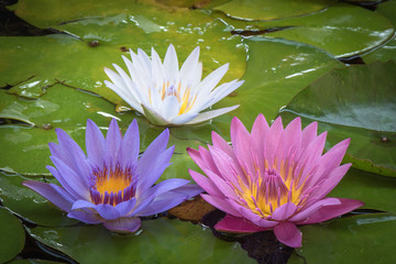Water lily tree colour