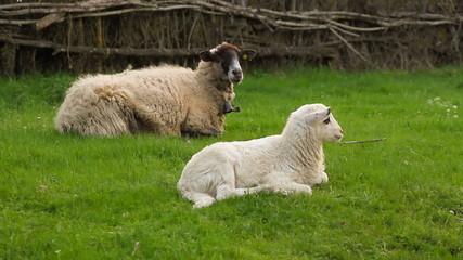 Oveja y cordero recostados en la hierba