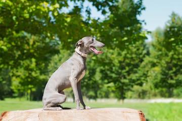 Sitting greyhound  in the park