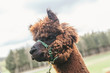 Close up of a fluffy alpaca