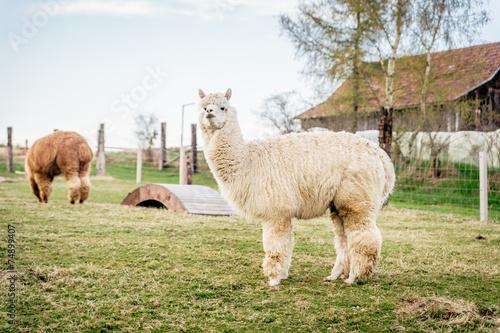 In de dag Lama White alpaca on a ranch