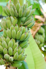 green banana in forest