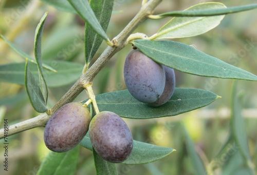 In de dag Olijfboom olve (Olea europaea)