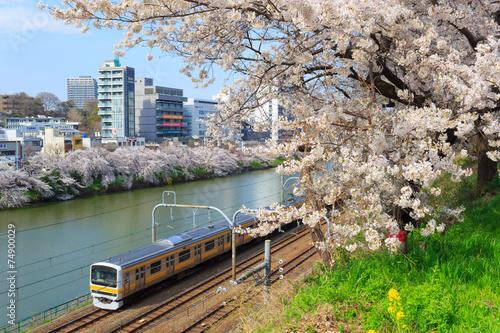 Aluminium Kersen Cherry blossoms at the Sotobori Park in Tokyo