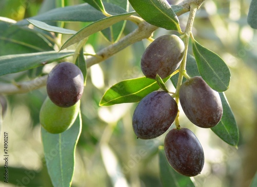 Staande foto Olijfboom olive (Olea europaea)