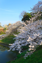 Cherry blossoms at the Kitanomaru Park in Tokyo