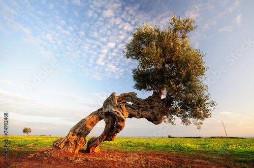 Deurstickers Olijfboom Puglia Olivo ulivo millenario