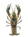 Invasive American spiny-cheek crayfish (Orconectes limosus)