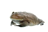 wide-mouth or hippo frog (Lepidobatrachus laevis) isolated