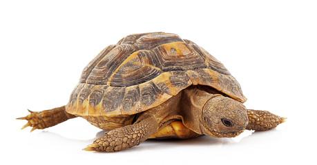 piccola tartaruga in fondo bianco