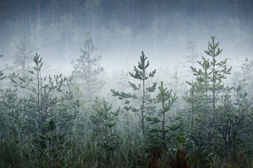 Morning fog in a dark and myctical forest in Latvia
