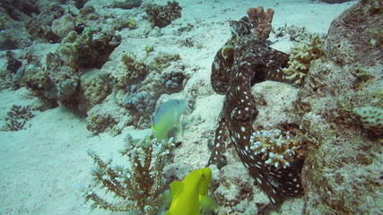 Red Octopus and Yellow-saddle Goatfish on coral reef