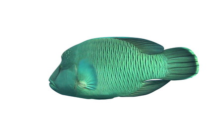 Napoleon Wrasse fish isolated on white