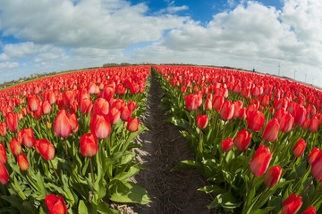 Fish eye view of a tulip field, the Netherlands.