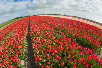 Fish eye view of a tulip field ,the Netherlands.