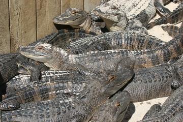 Mess of gators