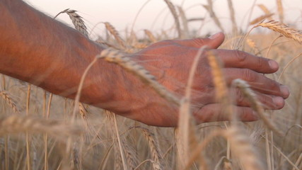 Mans hand amongst ears of wheat