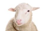 Fototapety sheep isolated on white