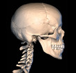 Human skull, side view.