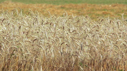 Agricultural field of ripening golden wheat