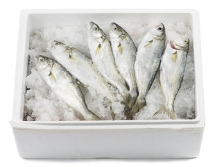 Bluefishes lying on ice in a transportation box isolated.