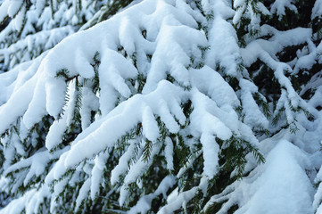 Snow-covered spruce branch