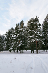 Track in the snow between snow-covered pines