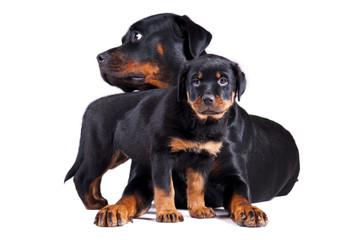 Dwa psy mały i duży